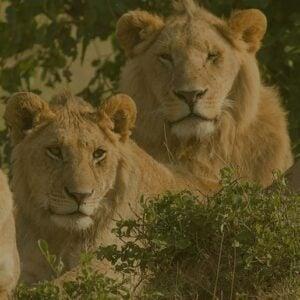 Kenya Wildlife Lion