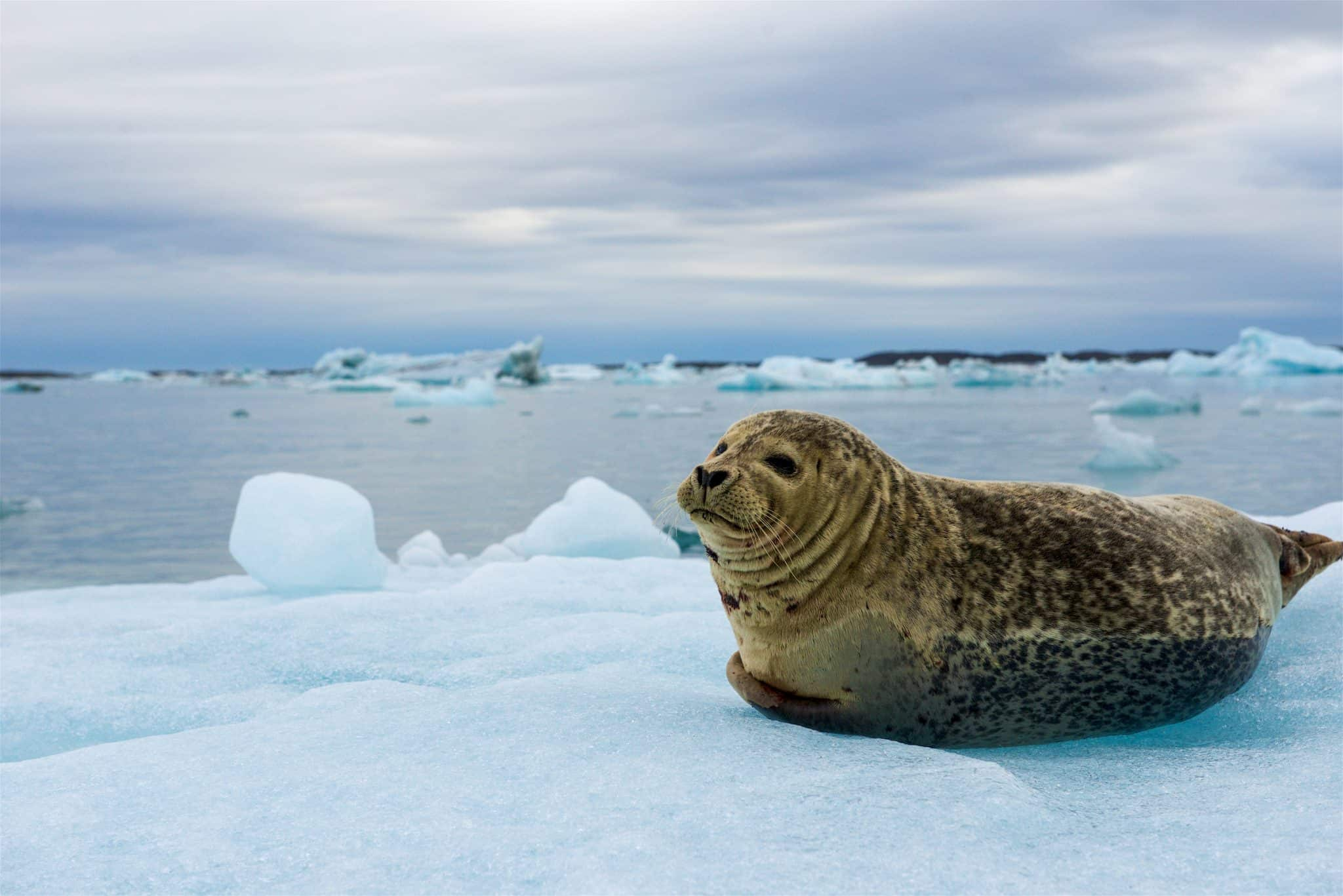 Seal resting on floating iceberg in a glacier lagoon with mountains and icebergs on the background