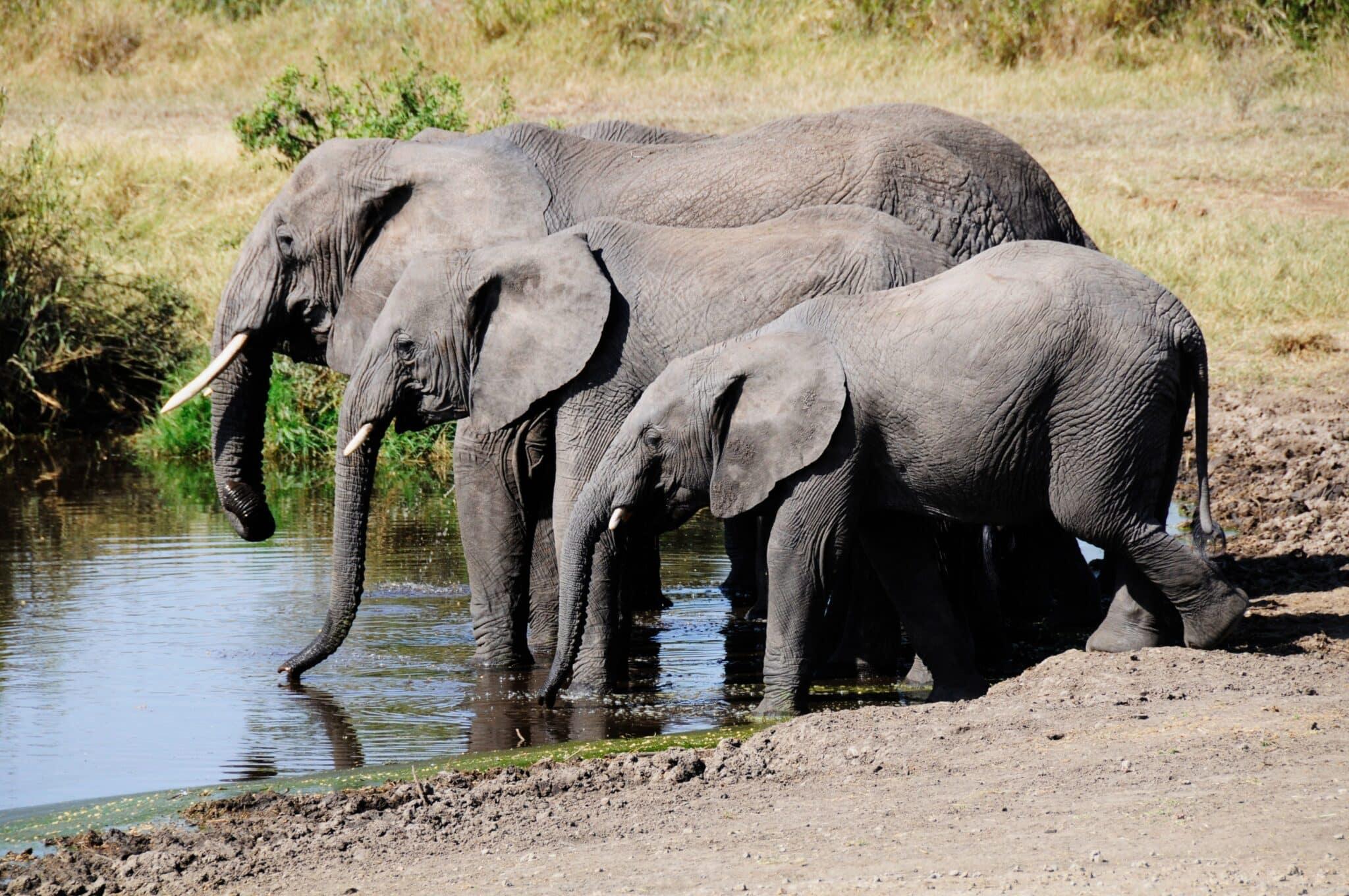 Africa; Tanzania; Serengeti National Park; Elephants_adobespark