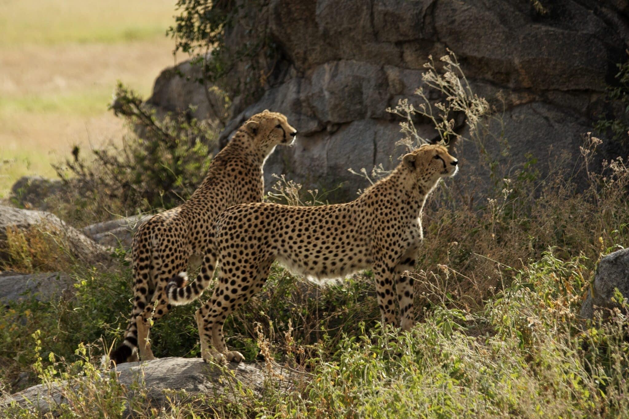 Africa; Tanzania; Serengeti1 National Park; Cheetahs
