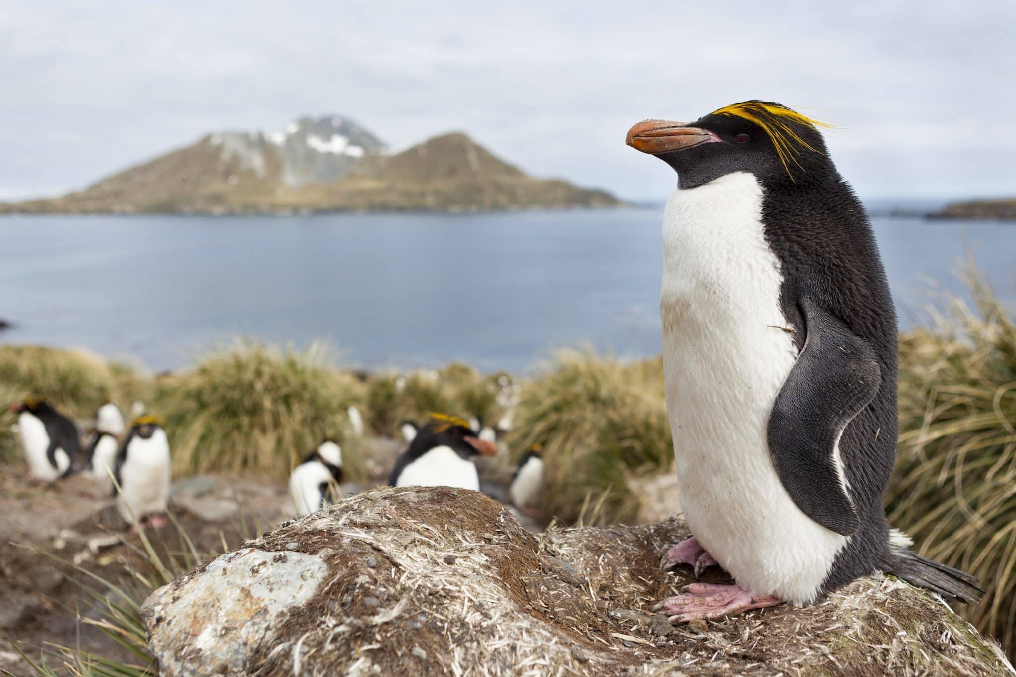 Macaroni penguin (Eudyptes chrysolophus) on the coast of South Georgia island