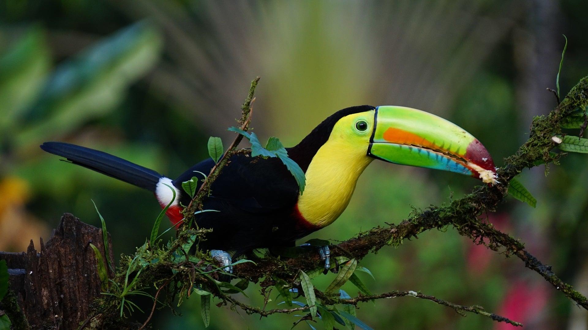CostaRicakeel-billed-toucan