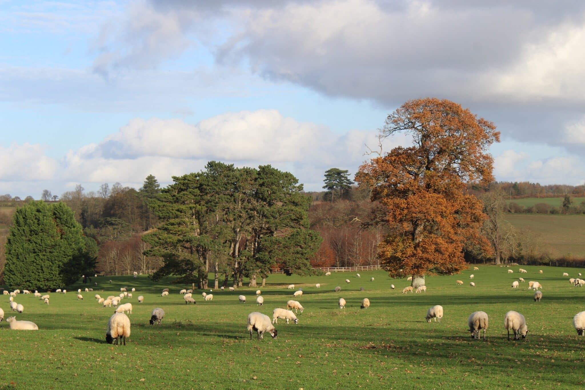 England sheep