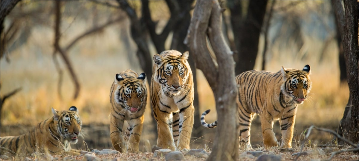 tigers wilds