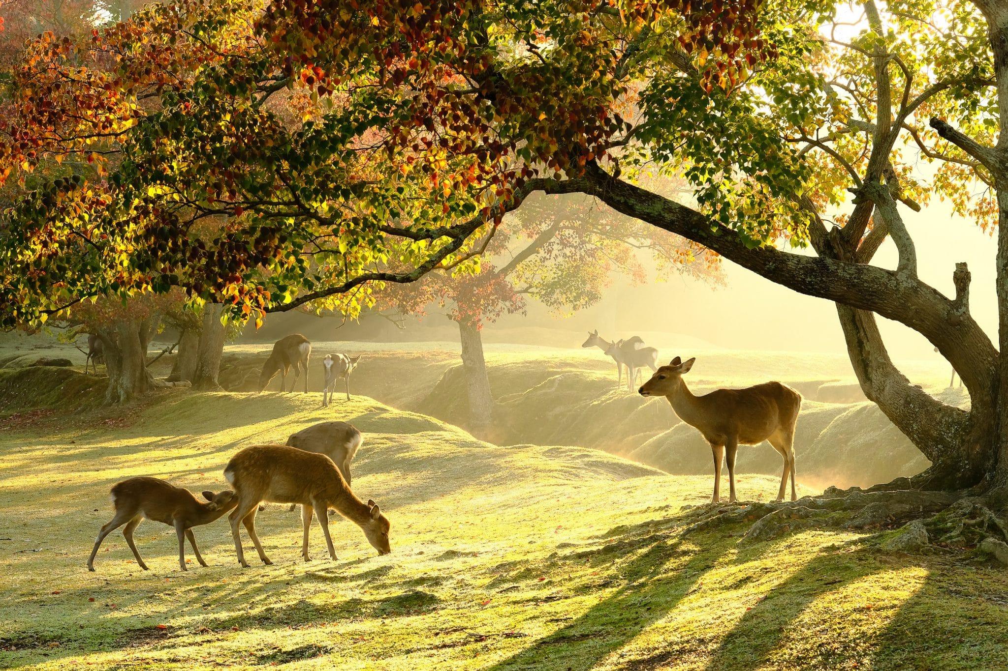 Japan Nara Deer park