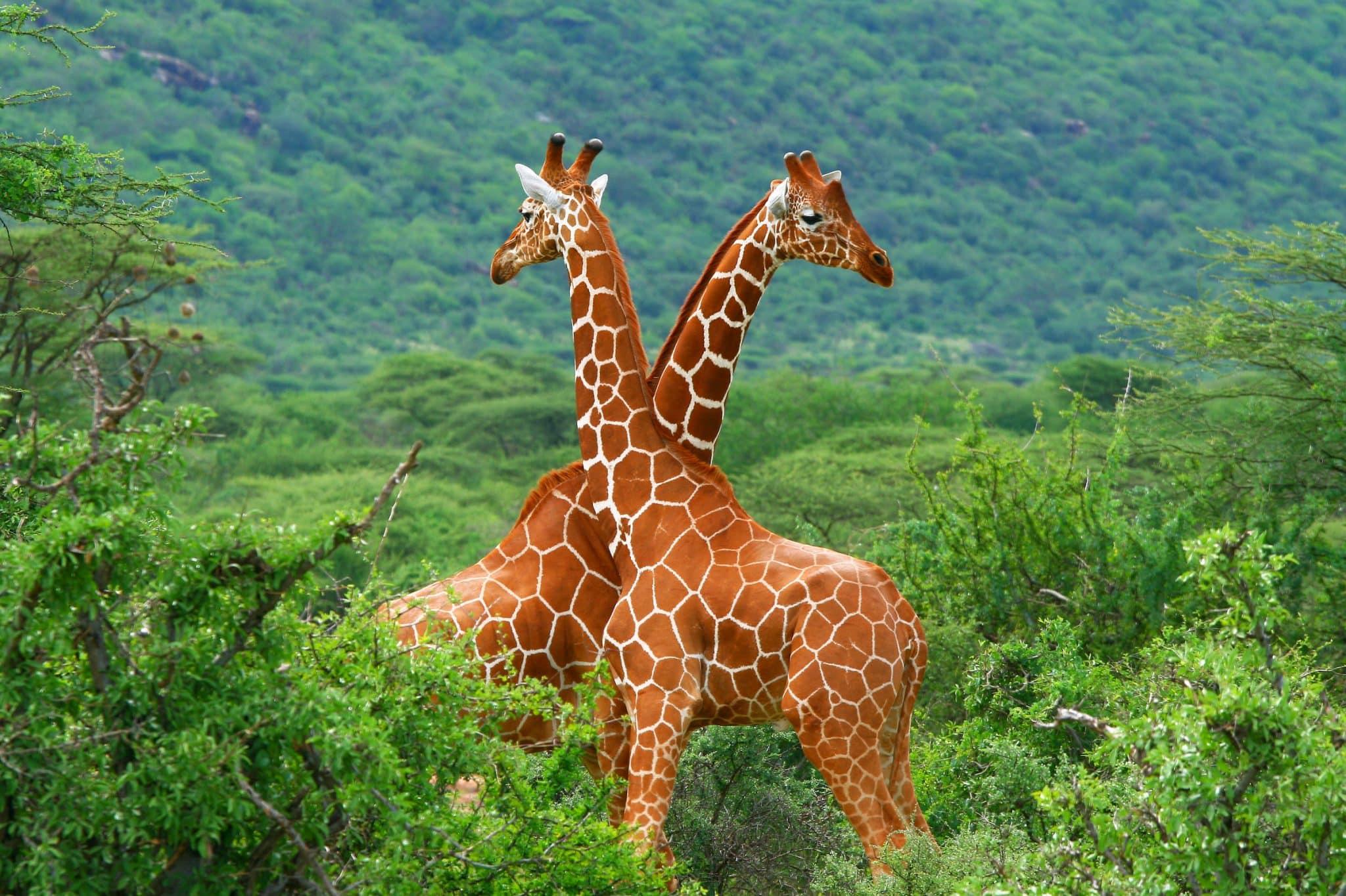 Fight of two giraffes. Africa. Kenya. Samburu national park.