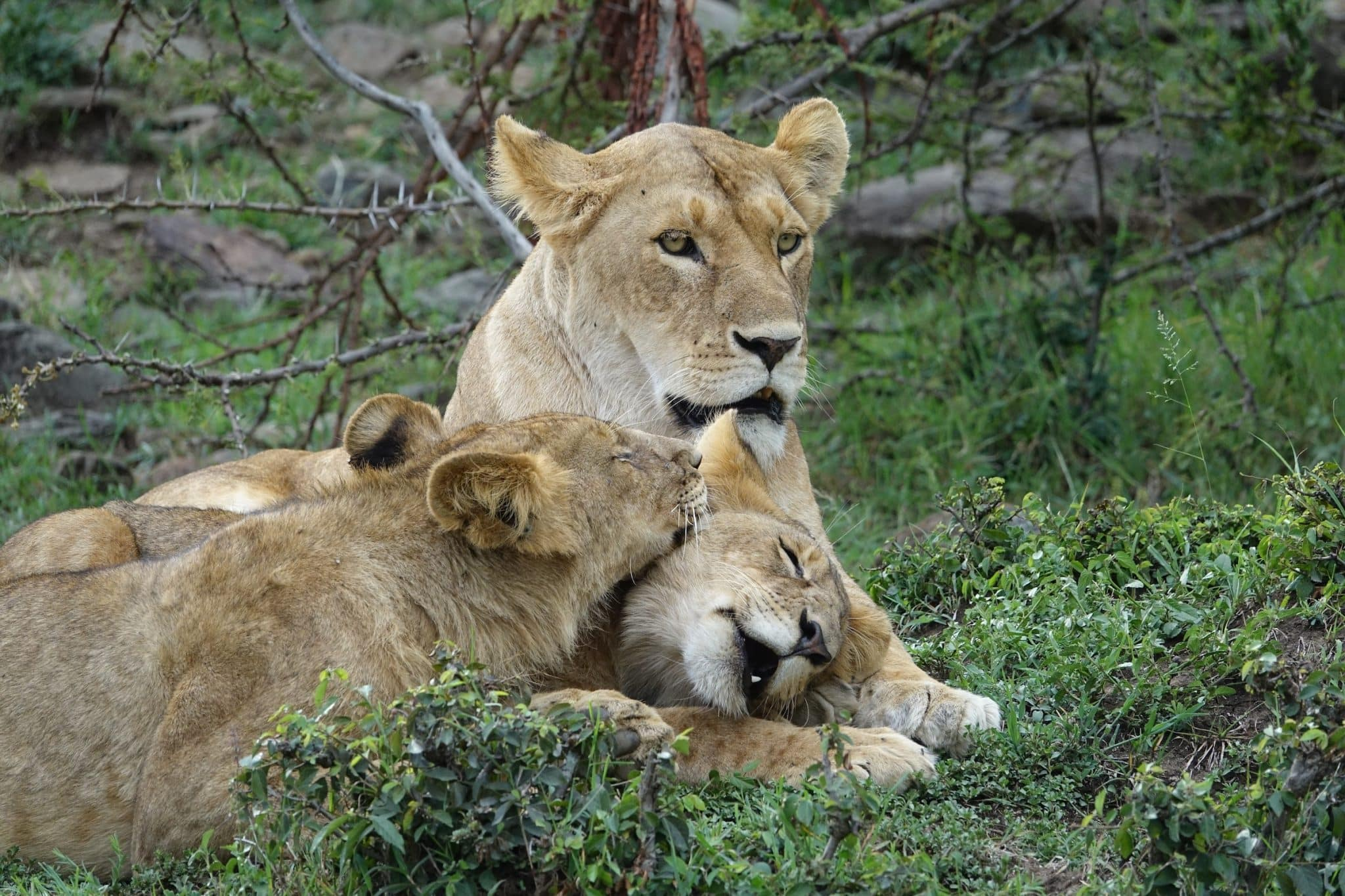 KenyaLioness with cubs