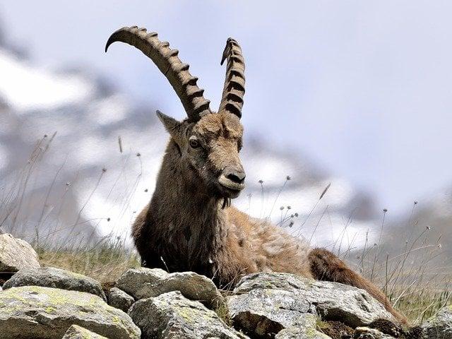Mongolia Ibex