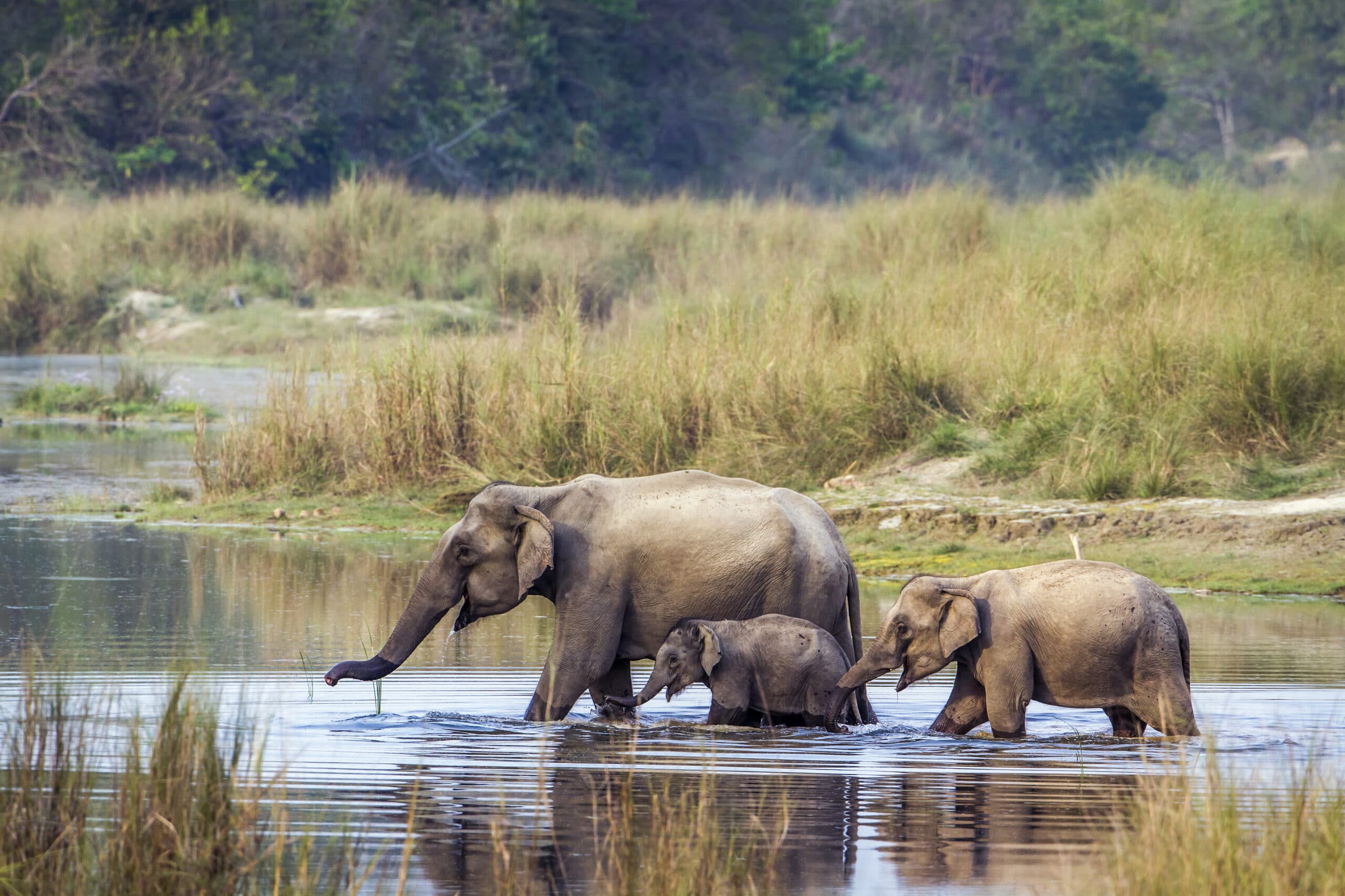 Eléphant d'AsieA family of three elephants in the river walking