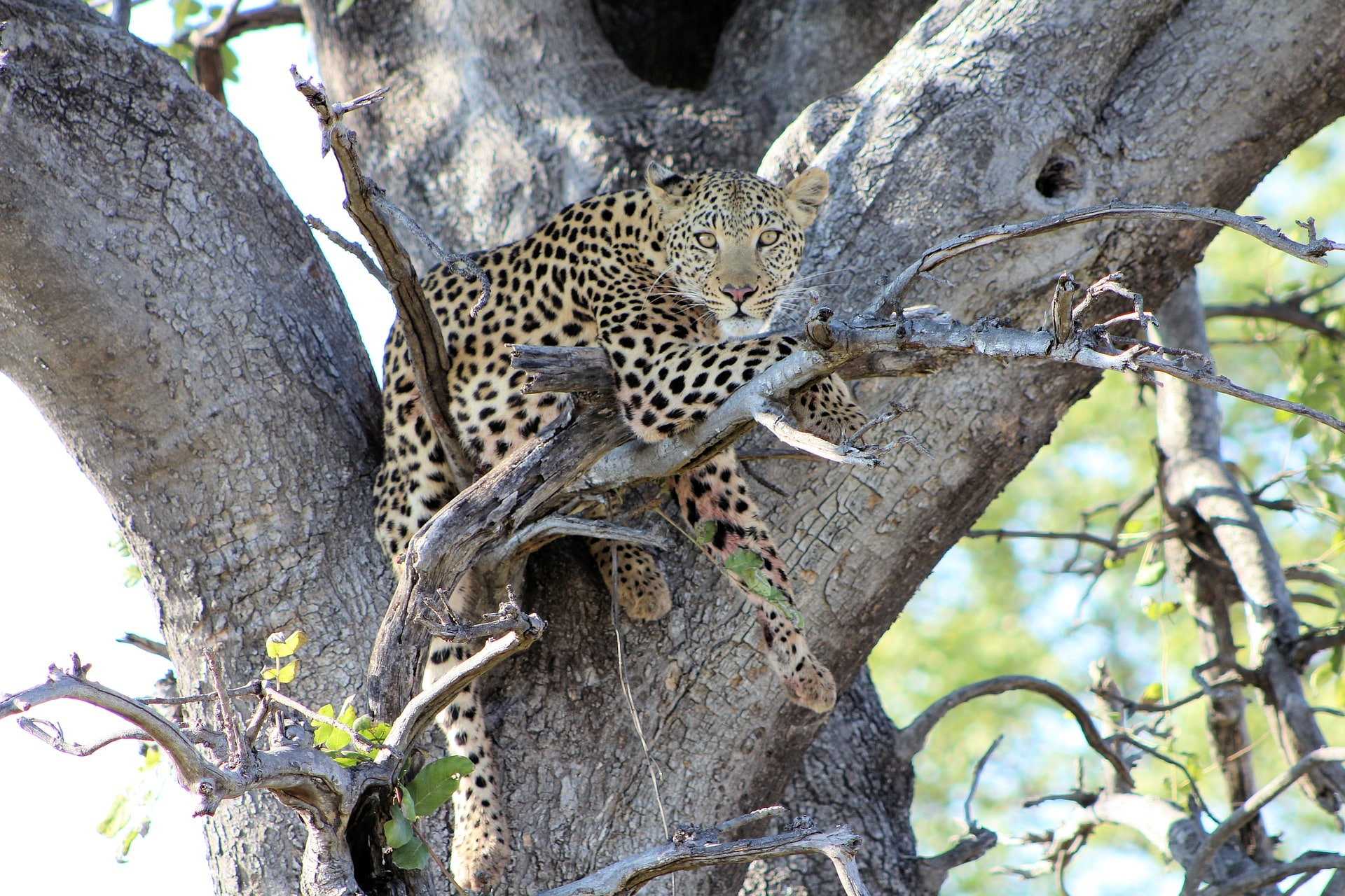 Leopard Africa safari